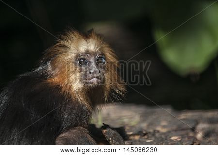 Monkey Wildlife Animal Look Jungle Simian Impression