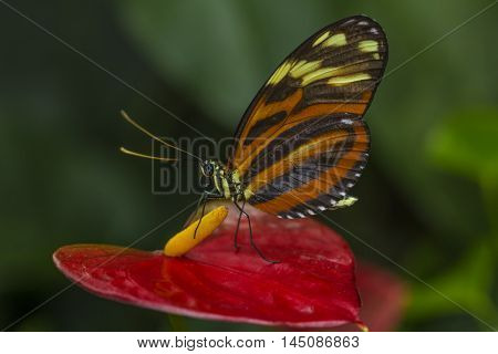Tropical Butterfly Tiger Longwing Wildlife Impression Exotic