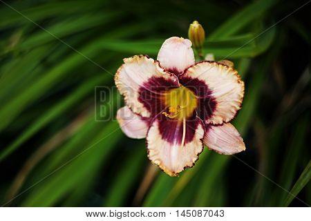 Bicolor Daylily Hemerocallis - one flower only.