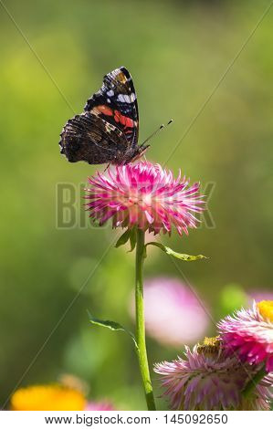 Red Admiral (Vanessa atalanta) butterfly feeding on Strawflower (Xerochrysum bracteatum). Smooth blurred background.