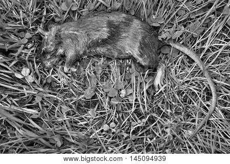 Lying Dead Big Rat Black And White