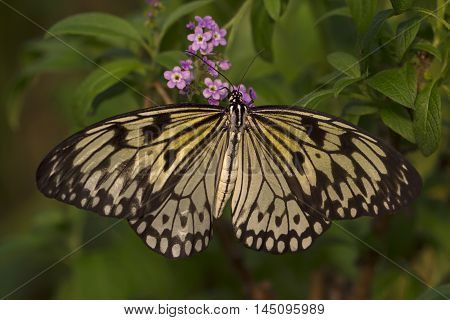 Tropical Butterfly Tree Nymph Wildlife Impression Exotic