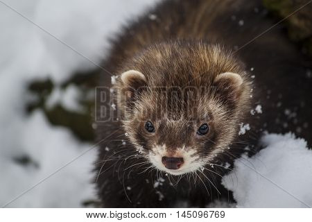 Ferret Mustela Animals Wildlife Looking Portrait Impression