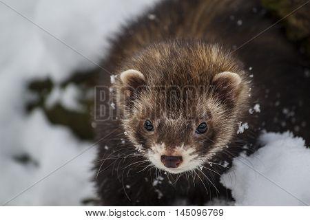 Ferret Mustela Animals Wildlife Looking Portrait Impression