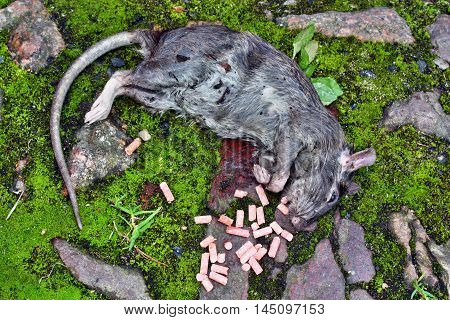 Dead Big Rat And Spilled  Pellets Of Poison