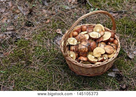Wicker basket with mushrooms in the forest