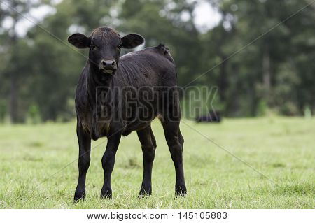 Black commercial crossbred calf looking forward in horizontal format