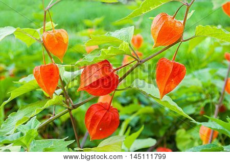 Physalis plants or Chinese Lantern Plants - in Latin Physalis alkekengi- on the branch. Closeup view of Physalis plant. Early autumn view of flowering Physalis
