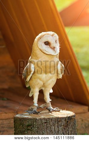 Captive barn owl. Barn Owl - in Latin Tyto Alba -sitting on a tree stump. Closeup of captive barn owl in sunny weather. Selective focus at the owl eyes. Barn owl closeup portrait under sunlight.