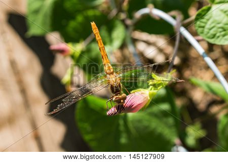 A beautiful dragonfly perched on a morning glory bud looking right at you with its eyes Ommatidia photoreceptors visible. poster