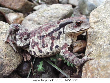 Far-Eastern Toad (Bufo Gargarizans) 5
