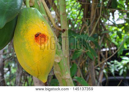 Ripe papaya on the tree. Close up Traces of insect eat ripe papaya on the tree. soft-focus blurred background.