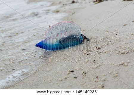 Portuguese man o war Physalia physalis dangerous jellyfish in Florida USA