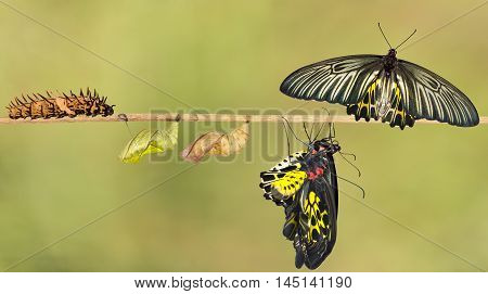 Life Cycle Of Female Common Birdwing Butterfly