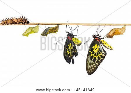 Isolated Life Cycle Of Female Common Birdwing Butterfly