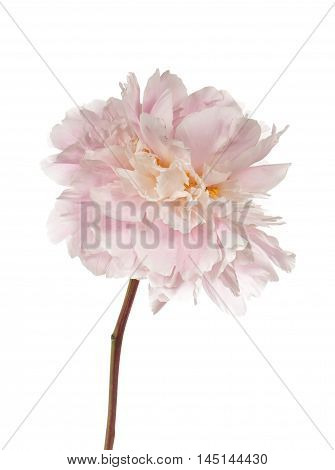 Tender pink peony flower isolated on white background