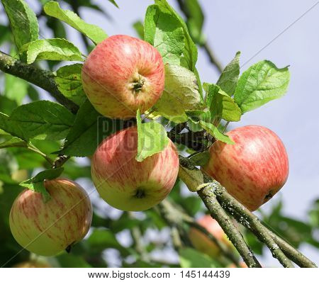 Apple tree branch with red apple fruits ready for harvesting