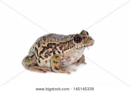 Riobamba marsupial frog, Gastrotheca riobambae, isolated on white