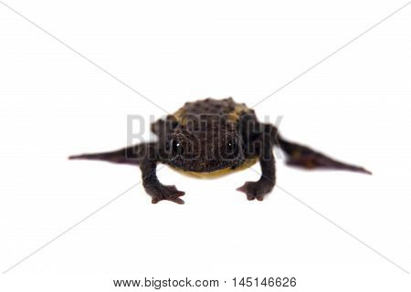 The Guacamayo Plump Toad, Osornophryne guacamayo, isolated on white background