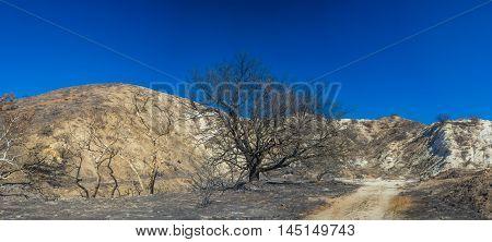 Charred Oak In California Hills
