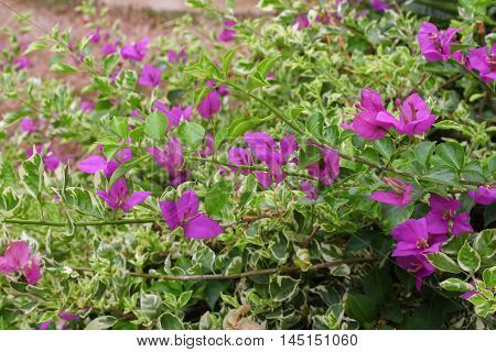 Bougainvillea flower purple select focus front  on an evening and background blurry ( glabra Choisy)