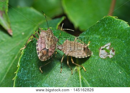 Couple of vernal shieldbug (Peribalus strictus) on a leaf