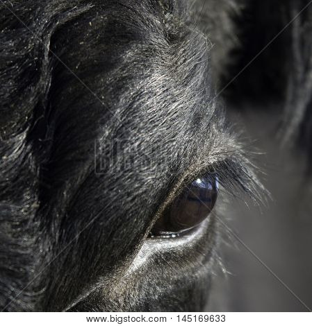 Close up of a black Angus's eye