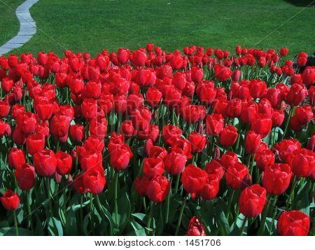 Spring Is Red Tulips