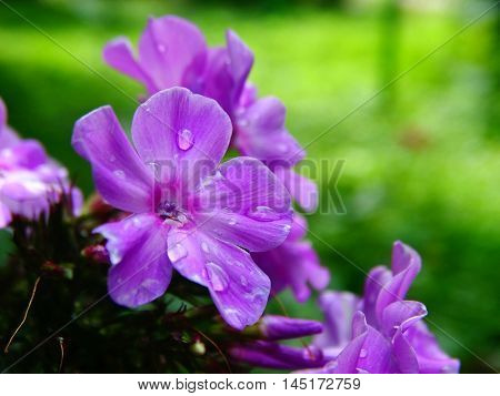 Scarlet phlox in autumn bloom season summer nature flower plant flowerbed bud petals closeup macro view rain dew flora floristics botany wallpaper background cultivation garden
