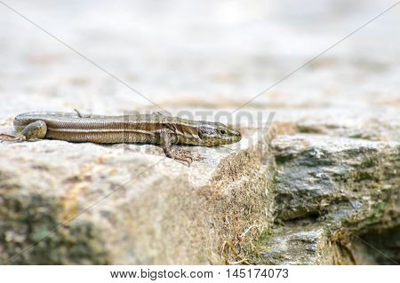 Watchful grey lizard sitting on his rocky home in the forest in the province of Girona, Alp, Catalonia
