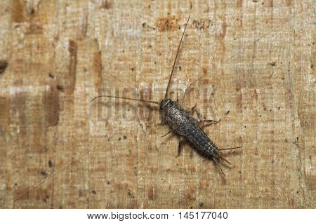 Silverfish (Lepisma saccarina) exploring on a piece of wood