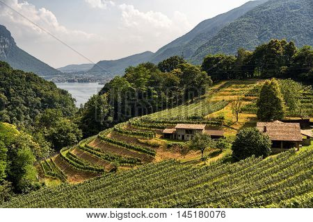 Vineyard along the road between Maroggia and Arogno (Ticino Switzerland) at summer