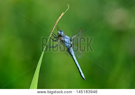 Male of southern skimmer dragonfly (Orthetrum brunneum) resting on a leaf