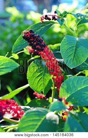 ripe berries of indian poke in garden