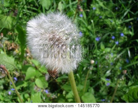 white, green, grass, nature, dandelion, natural, clear, silvery, fluffy