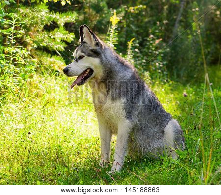 one adult dog alaskan malamute sitting in the woods in early autumn, sunny evening, smeared chest in the earth, a joyful and happy, looking away, portrait full-length in profile