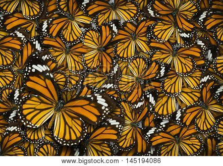 Monarch Butterfly Background