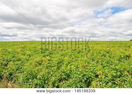 Bright Green Potato Plants Growing in the Summer Heat