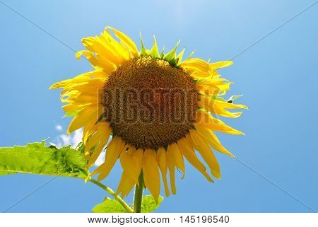 Huge Sunflower in a Blue Sky Late in the Summer
