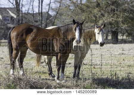 Blood bay and blond bay horses up close standing at the fenceline in February.