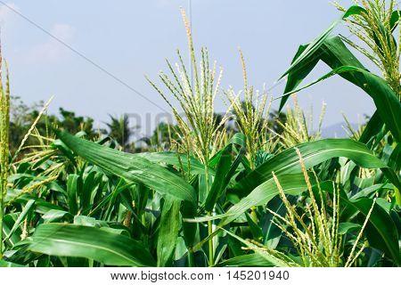 Green Corn Field Close Up