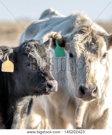White cow and black calf looking at the camera lit from the right