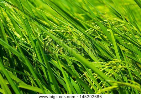 Agricultural Industry Of Rice Field