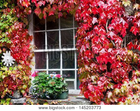 White window covered with autumn colored ivy.