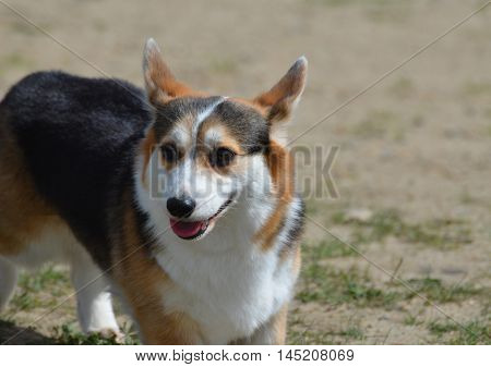 Really cute multi-colored Welsh corgi herd dog.