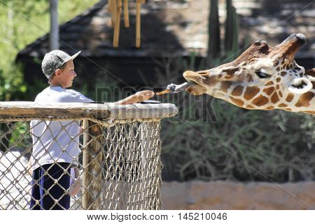 TUCSON, ARIZONA, AUGUST 27. Reid Park Zoo on August 27, 2016, in Tucson, Arizona. A boy feeds the giraffe a carrot at the Reid Park Zoo one of Tucson Arizona's biggest tourist draws.