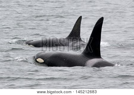 Two Orca Whales Surfacing off the Washington Coast