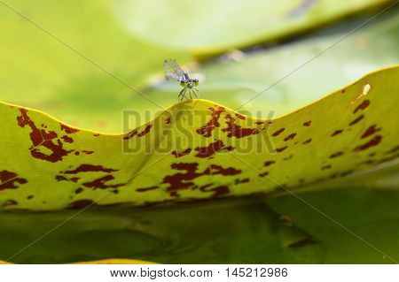A blue damselfly on a lily pad