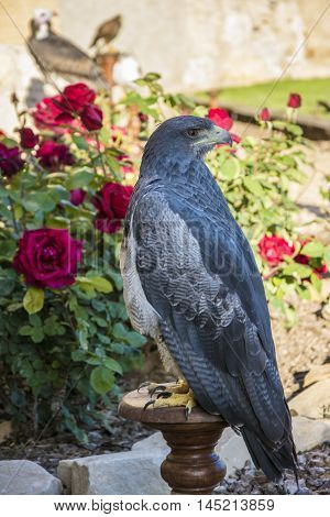 The black-chested buzzard-eagle, Geranoaetus melanoleucus, is a bird of prey of the hawk and eagle family Accipitridae. It lives in open regions of South America.