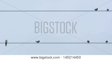 Swallows (Hirundo rustica) on telephone wires in late summer. Flock of birds in the family Hirundinidae ready to migrate south for winter resting on cables in front of blue sky